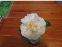 Best Camellia Bloomer This Year.