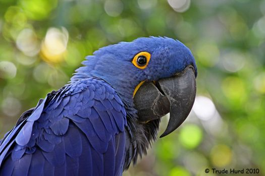 Hyacinth Macaw, king of parrots