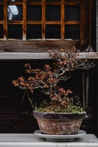 Ancient Bonsai