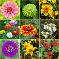 Colors And Shapes Of Zinnias