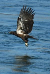Eagle on a fishing expedition