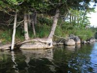 Graceful Cedar on Rock