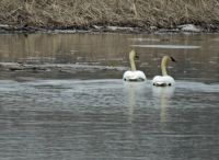 Sign of spring -- the swans are back!