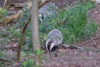 Badger mom and cub