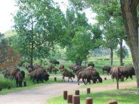 Bison Herd, Theodore Roosevelt Nat'l Park