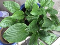 Hosta with foot