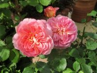 more pink roses -think this one is Boscobel