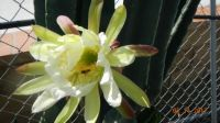 Dragon fruit cactus blossom