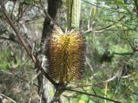another banksia
