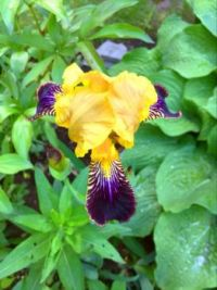 Different coloured Iris, gold and purple