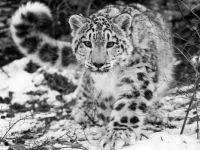snow_leopard_