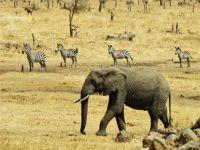 elephant & zebra - aug 2016 - serengeti, tanzania