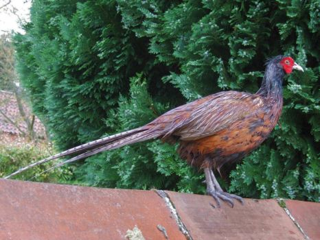 For Jim (JCarroll) Bedraggled Pheasant - 25th June 2007