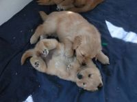 my golden retreiver pups