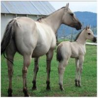 Criollo mare and foal.PNG