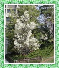 Our Holiday. Pretty White Blossom Tree. Larger.