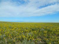 Sunflower field in Colorado