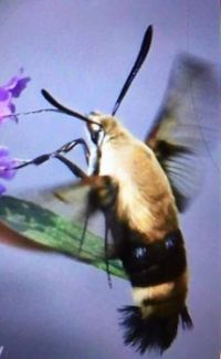 hummingbird_moth