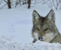 Peter - We think he might be a Coywolf