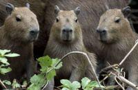 Family of Capybara