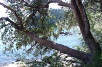 Arbutus Tree East Sooke Park