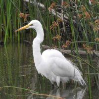 Great Egret, Lake Hodges, San Diego, California