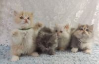 Four Napoleon Kittens