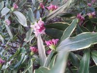 Winter Daphne blooming!! :-))