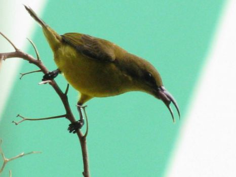 Mother Sunbird - my regular visitor every morning