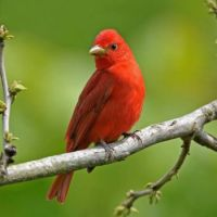 Summer Tanager from Birds & Bloom Magazine