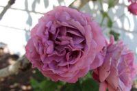 A lavender colored rose.