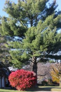 Pine tree with burning bush