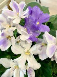 Violets Week 2