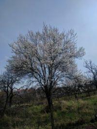mandloň kvetoucí Dolní Věstonice