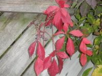 Virginia Creeper on gate PA057223