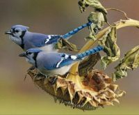 Blue Jays in New York, USA