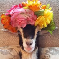 rescue-goat