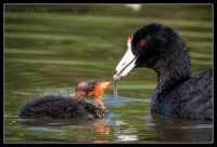 American coot offers a tadpole to it's chick