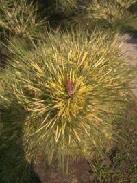 Porcupine Pine *hard