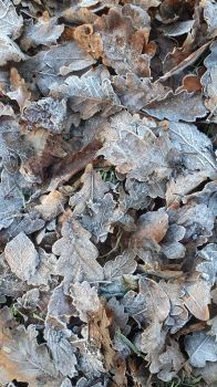 leaves with frost_15