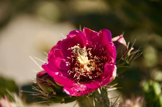 CHOLLA CACTUS FLOWER - NEW MEXICO
