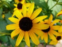 Black-eyed Susan (3)