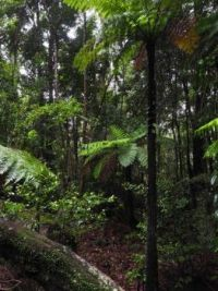 Katoomba Rough Tree Ferns