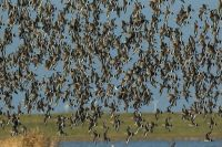 Black Tailed Godwits - how many?