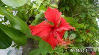 Hibiscus Blosson