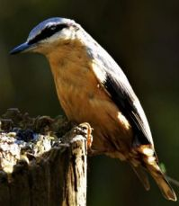 Nuthatch in the evening light