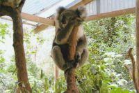 Koala in Koala Park, Sydney