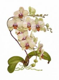 Orchid botanical print