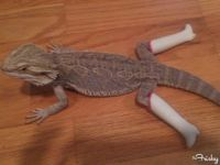Lizard in Barbie Boots