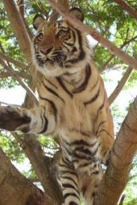 Mauritius Tiger